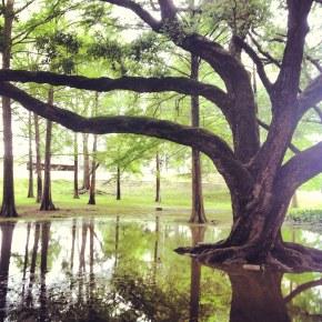 LSU campus live oak trees kept alive through maintenance,endowments